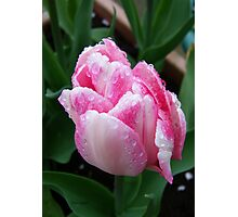 Two Tone Pink Tulip Photographic Print