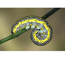 Apopestes spectrum caterpillar Photographic Print