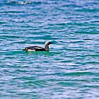 Black-throated Diver by Jamie  Green