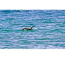 Black-throated Diver Photographic Print