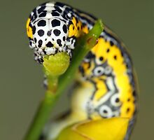 Apopestes spectrum caterpillar by jimmy hoffman