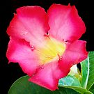 1611-red adenium by elvira1