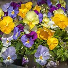 A rainbow of pansies by PhotosByHealy