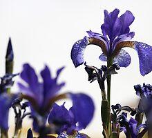 Resplendent Iris by Andrew Wilkey