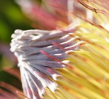 King Protea by Thomas Tatchell