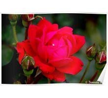 Reddest Rose Poster