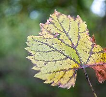 A Green Summer Leaf by lindsycarranza