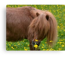 Tod Miniature Shetland Pony Canvas Print