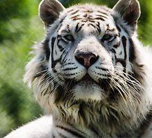 Tiger by MeeLux
