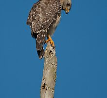 Sharp-shinned Hawk  by Joe Jennelle
