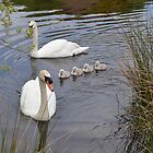 Swans-2013-Margrove Wetland by dougie1page3