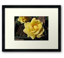Sunlit Yellow Roses Framed Print