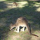 Kangaroo & Joey, Geehi Camp Gorund, Australia 2013 by muz2142