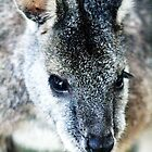 Wallaby by Lochlan Rovina