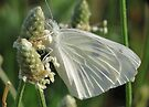 White Cabbage Butterfly by Ron Russell