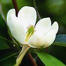 Swamp Magnolia by Sharon Woerner
