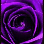 Purple Rose by Gina Kaye
