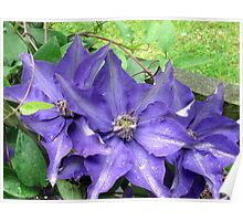lovely blue clematis Poster