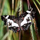 Unknown Butterfly –  Zombitse - SW  Madagascar by john  Lenagan