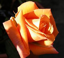 The Rose .. Burnt Amber by LoneAngel