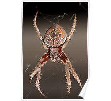 Eriophora Biapicata - Garden Spider Poster
