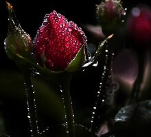 Raindrops on Rosebuds by Country  Pursuits