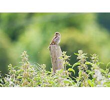 House Sparrow - Passer domesticus Photographic Print