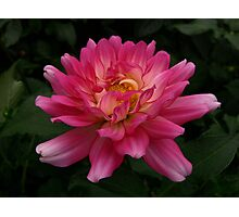 Dancing Dahlia! Photographic Print