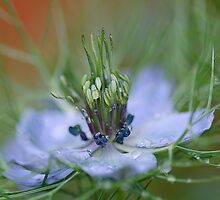 Nigella  by AlisonPhillips