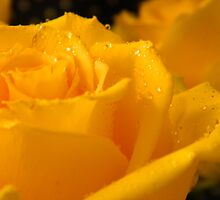 YELLOW ROSES - 8 by ctheworld