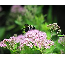 Bumble Bee, Bumble Bee Photographic Print