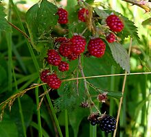 Blackberries soon to be by Paula Tohline  Calhoun