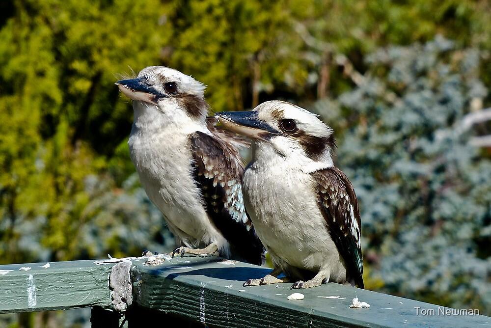 Kookaburra Duo by Tom Newman