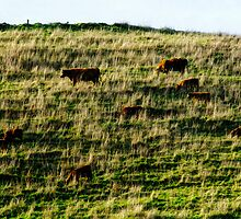 Cows on a Hill. by Bette Devine