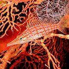 Longnose Hawkfish - Oxycirrhites typus by Andrew Trevor-Jones