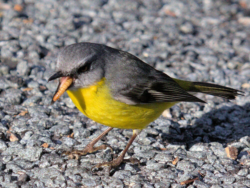Eastern Yellow Robin With Lunch  by Kym Bradley