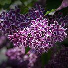 Lilacs by PhotosByHealy