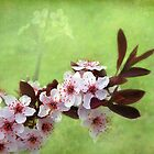 Sand Cherry In Bloom by Kathilee