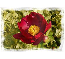 The King of Peony Poster