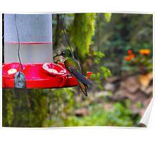 Mindo Rain Forest Hummingbird Poster