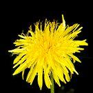 Sunny dandelion by Arve Bettum