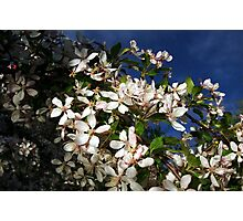 Blossoms against Blue skies Photographic Print