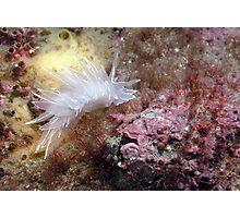 Alabaster Nudibranch with Coralline Algae Photographic Print
