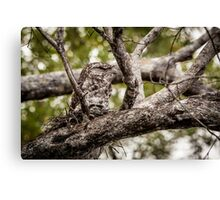 Papuan Frogmouth - Mum & Chick II Canvas Print