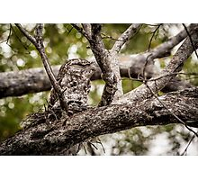 Papuan Frogmouth - Mum & Chick II Photographic Print