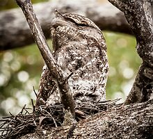 Papuan Frogmouth - Mum & Chick III by Richard Heath