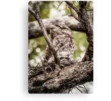Papuan Frogmouth - Mum & Chick III Canvas Print