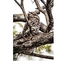 Papuan Frogmouth - Mum & Chick IV Photographic Print