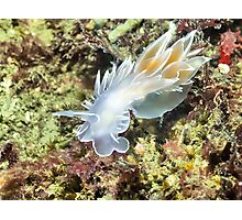 Alabaster Nudibranch / White-lined Dirona Photographic Print