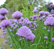 A PLETHORA OF CHIVES IN A HERB GARDEN by paulasphotos101